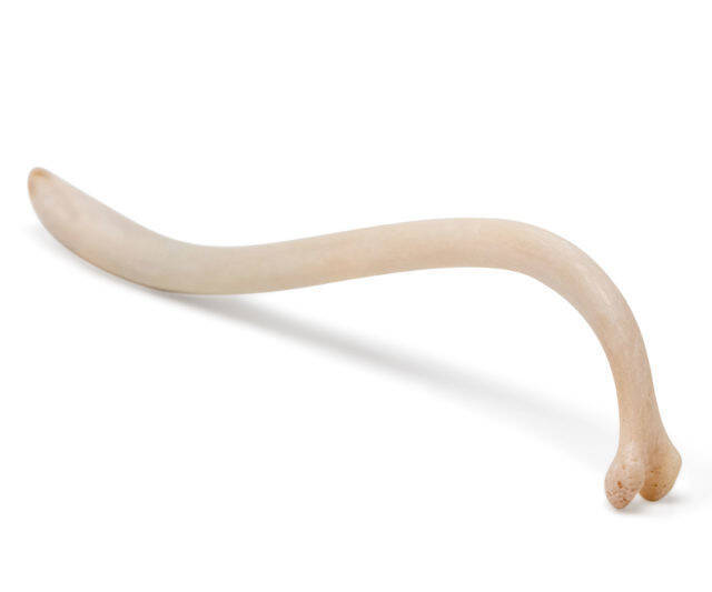 Raccoon Baculum The Old Texas Toothpick - http://coolthings.us