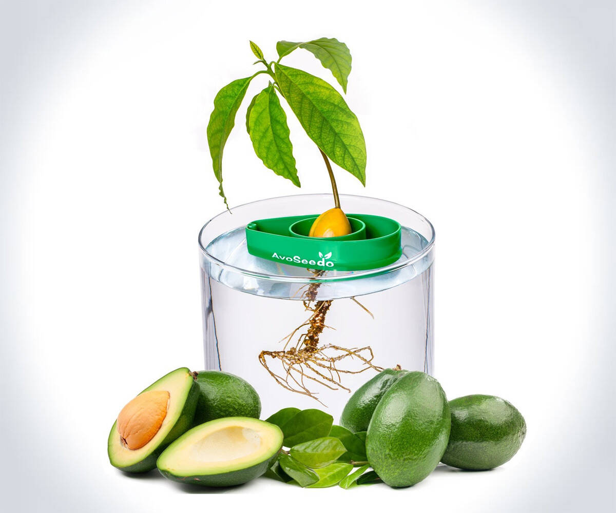 AvoSeedo - Grow an Avocado Tree - http://coolthings.us