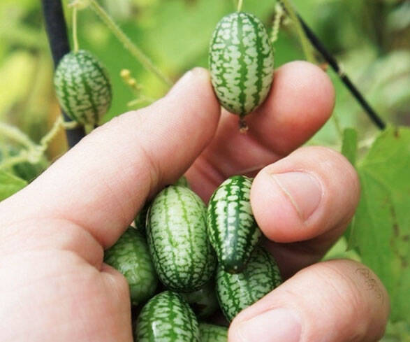 Mini Watermelon Cucumber Seeds - http://coolthings.us
