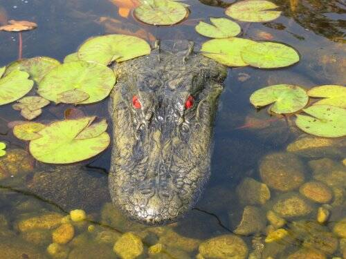 Floating Alligator Head Decoy - http://coolthings.us