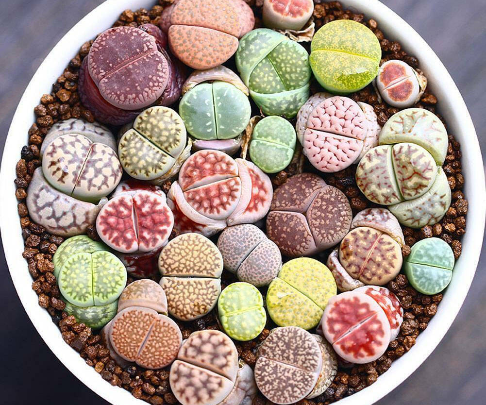 Lithop Succulent Stone Plants - http://coolthings.us