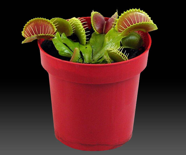 Venus Flytrap Potted Plant - http://coolthings.us