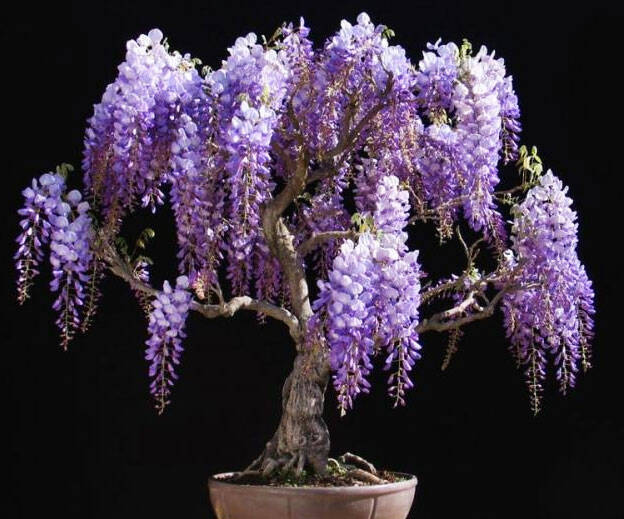 Wisteria Bonsai Tree Kit - http://coolthings.us